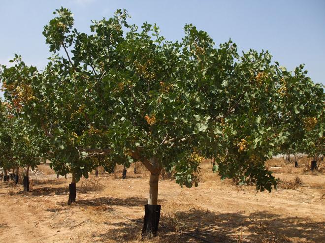 árbol hembra del pistacho